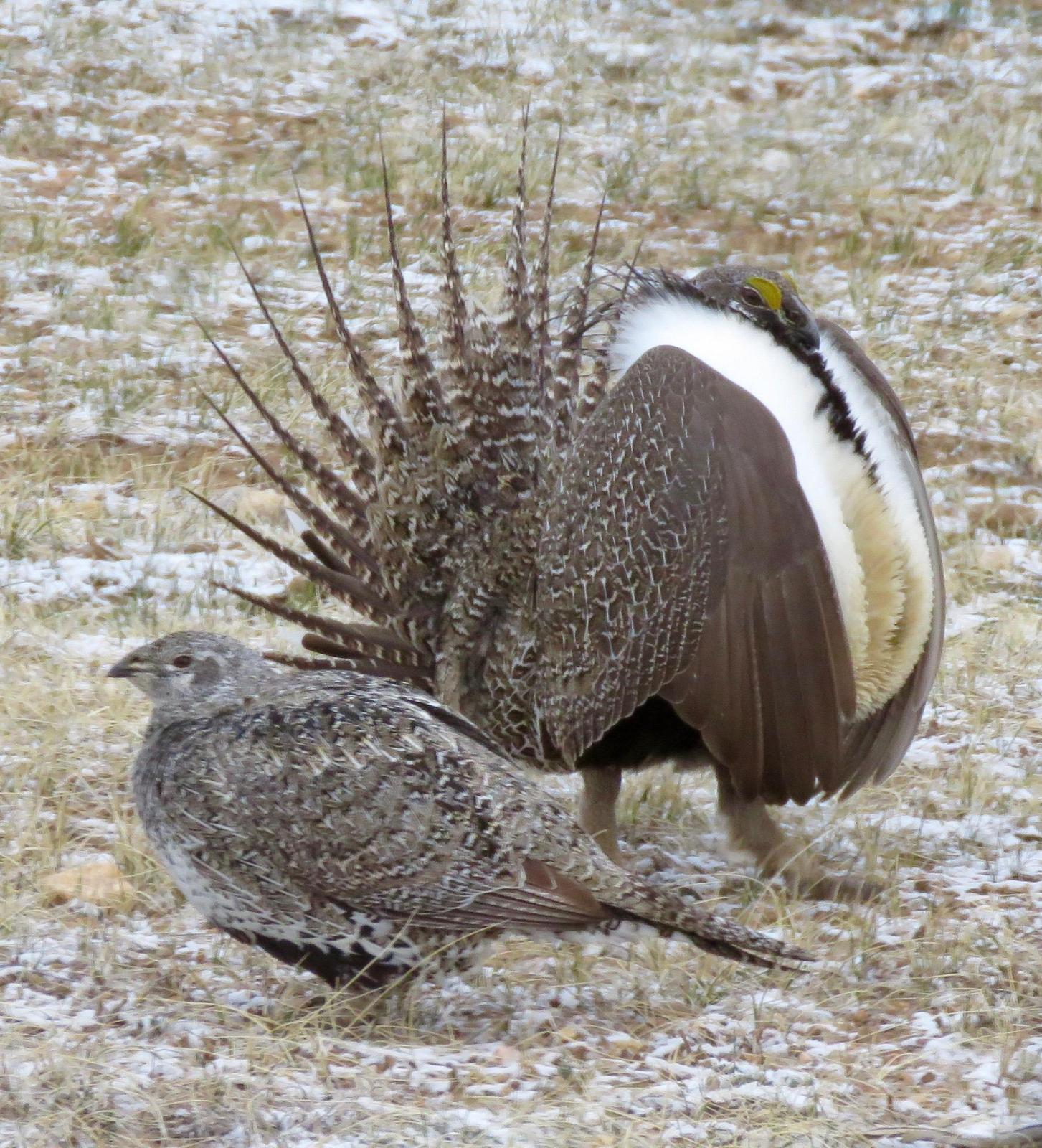 Greater Sage-Grouse Photo by Don Glasco