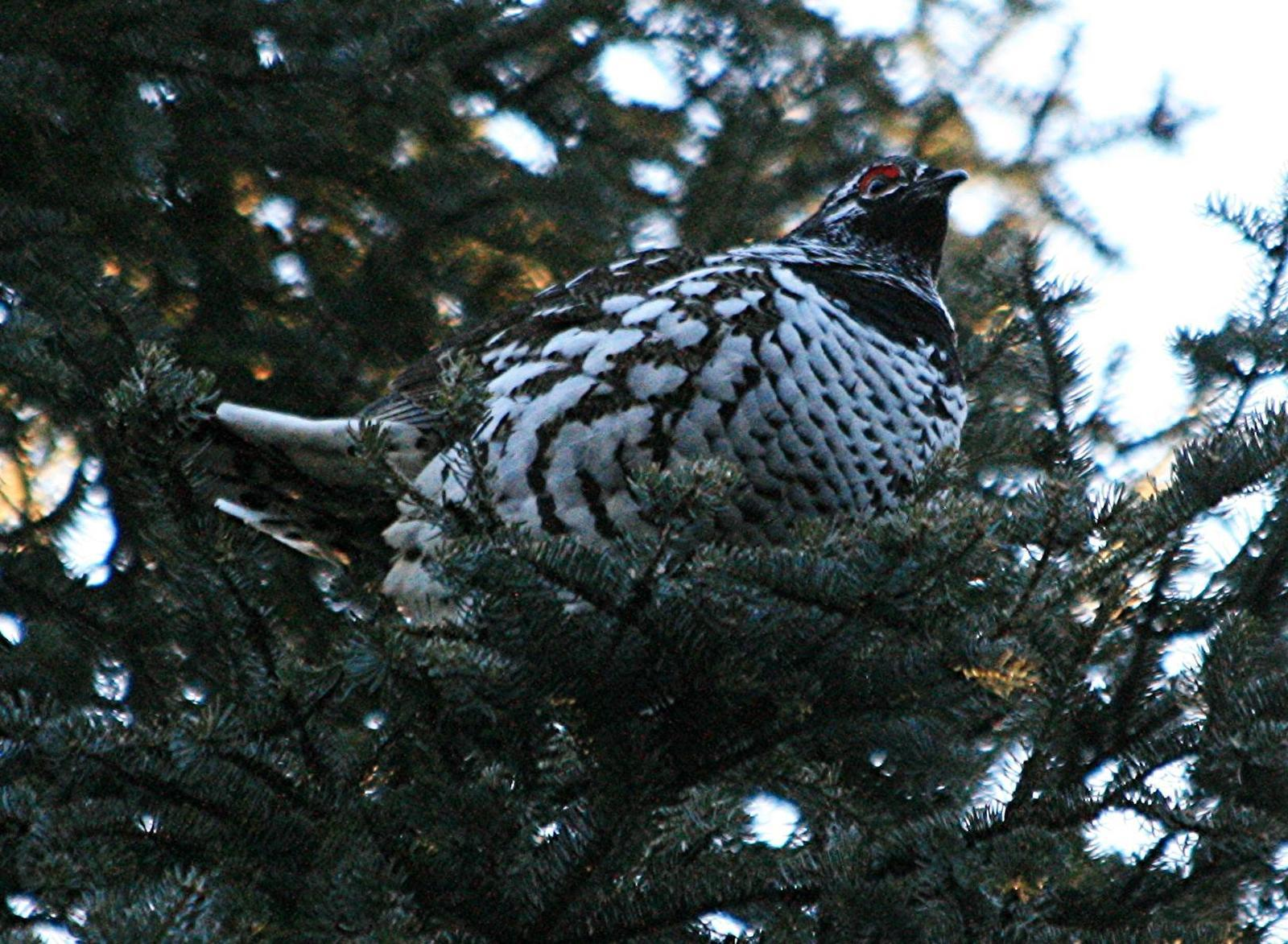 Spruce Grouse Photo by Aaron Hywarren