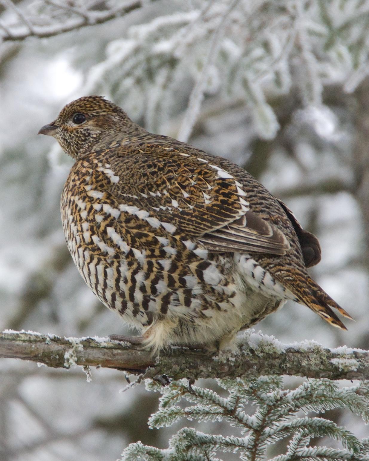 Spruce Grouse Photo by Gerald Hoekstra
