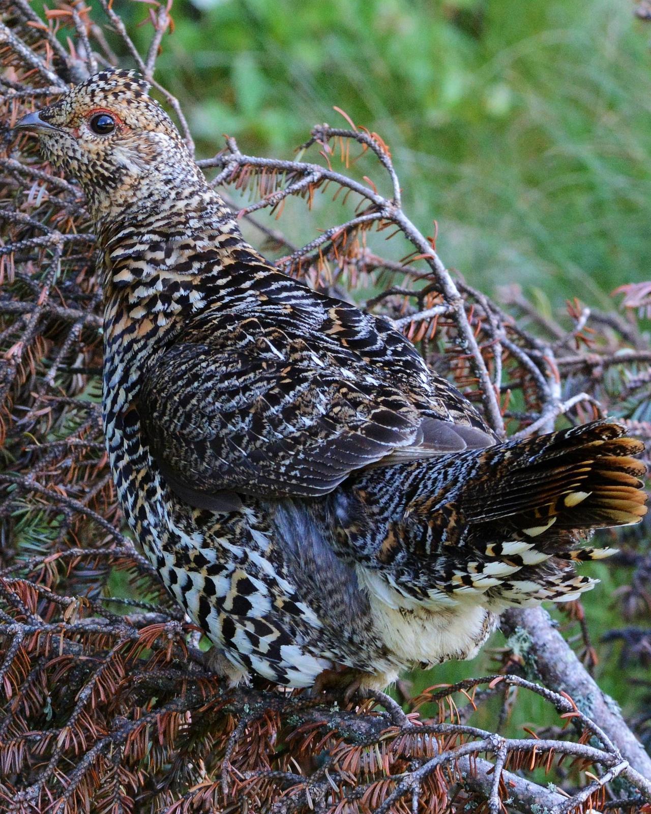 Spruce Grouse Photo by David Hollie