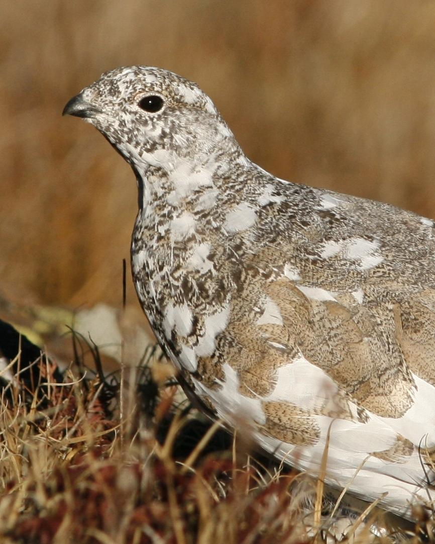 White-tailed Ptarmigan Photo by Oscar Johnson