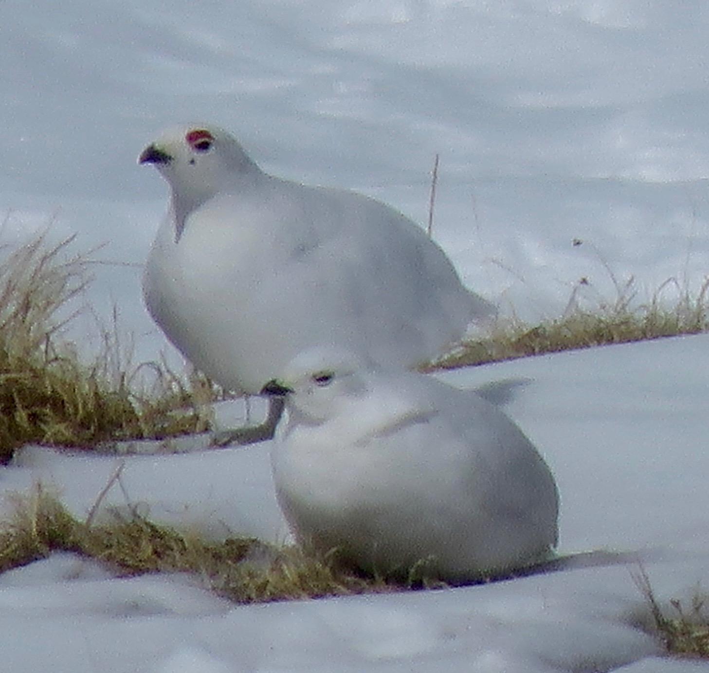 White-tailed Ptarmigan Photo by Don Glasco