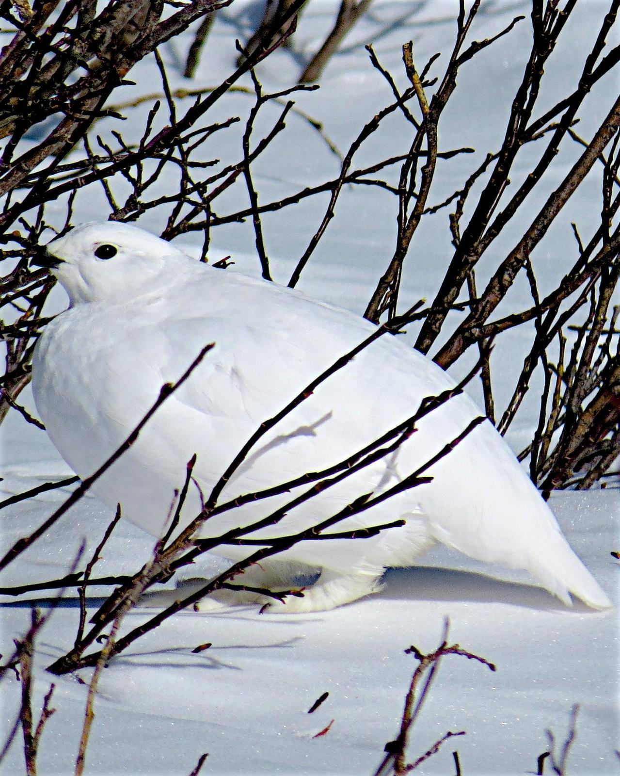 White-tailed Ptarmigan Photo by George Mayfield