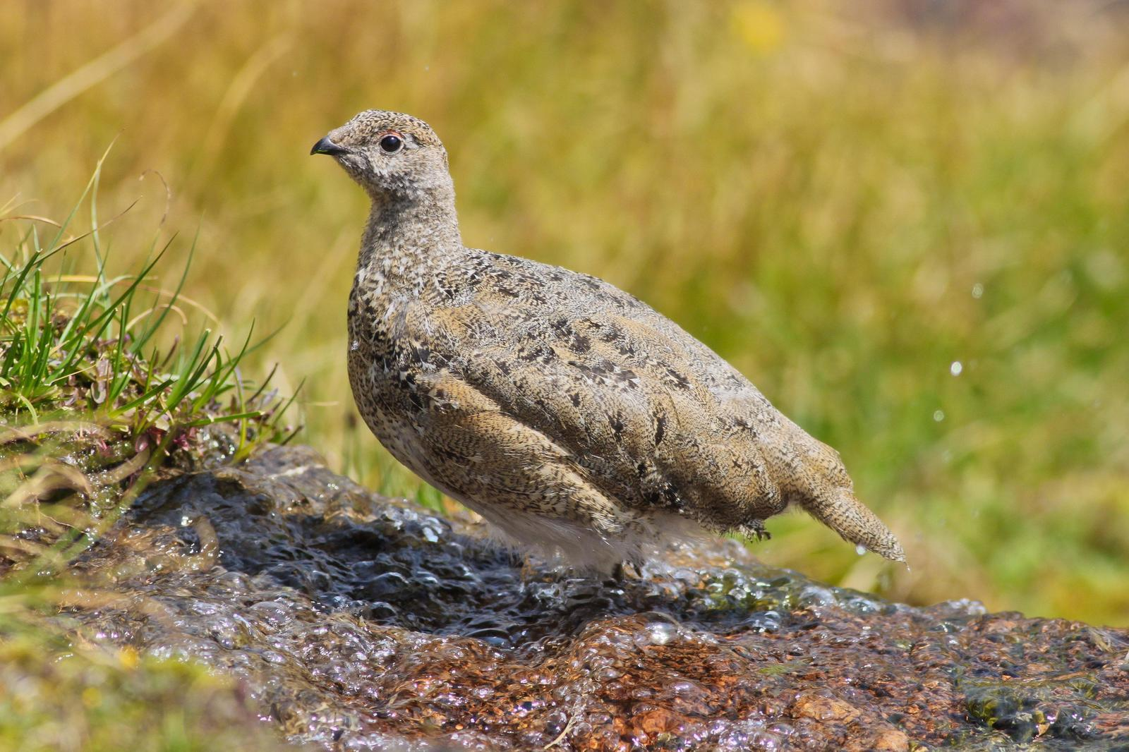 White-tailed Ptarmigan Photo by Tom Ford-Hutchinson