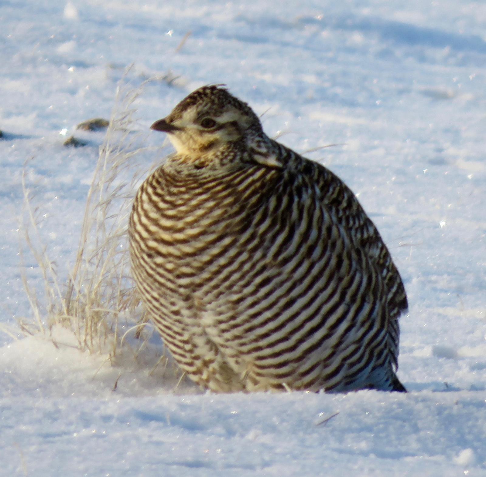 Greater Prairie-Chicken Photo by Don Glasco