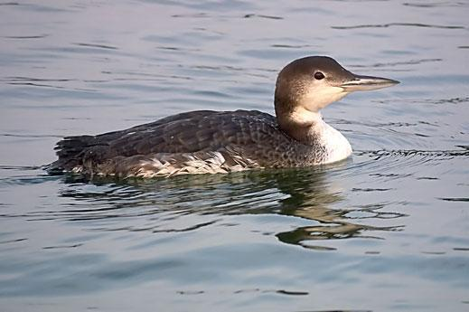 Common Loon Photo by Dan Tallman
