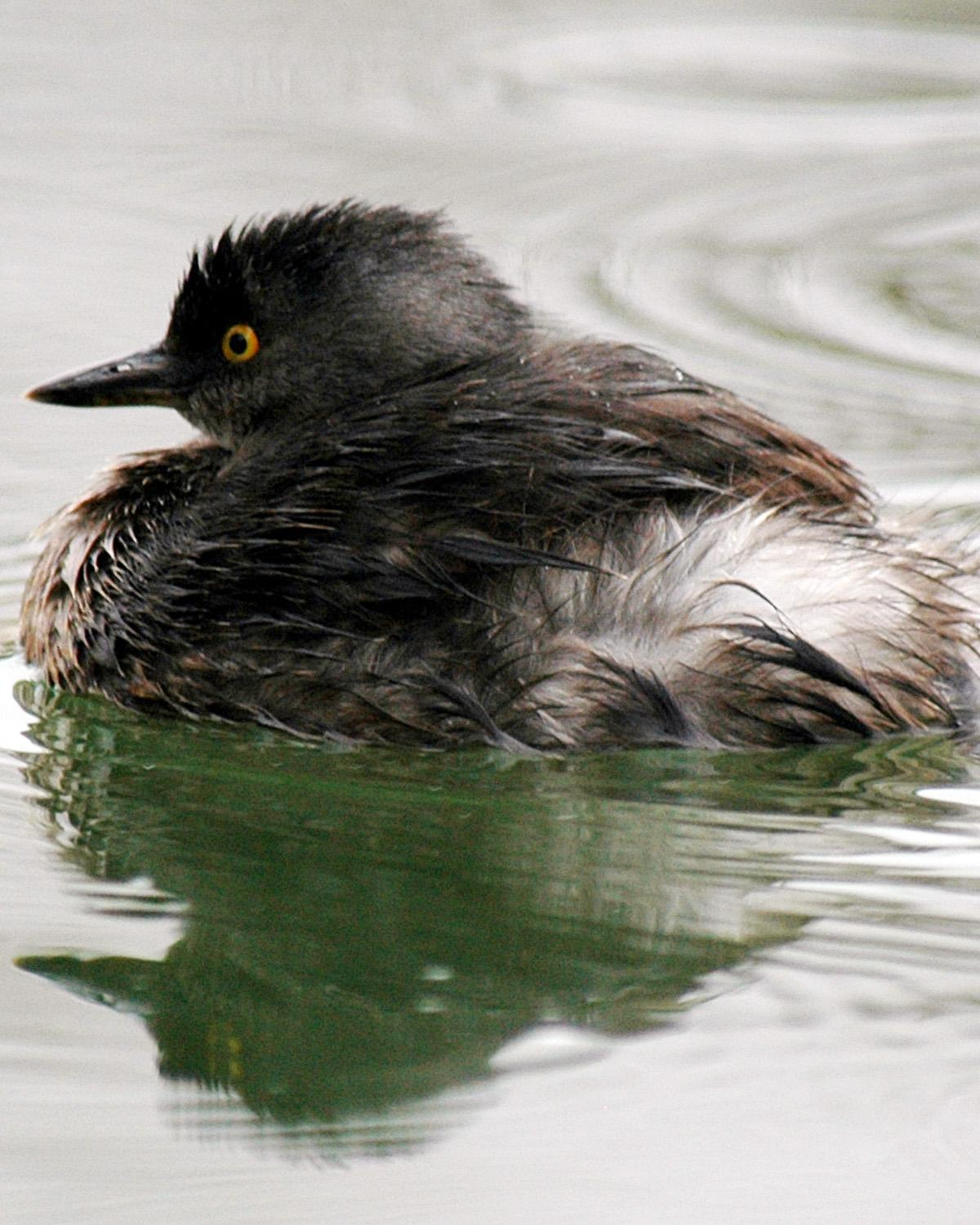 Least Grebe Photo by Magill Weber