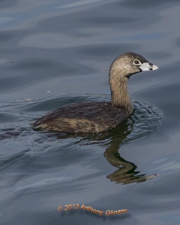 Pied-billed Grebe Photo by Anthony Gliozzo