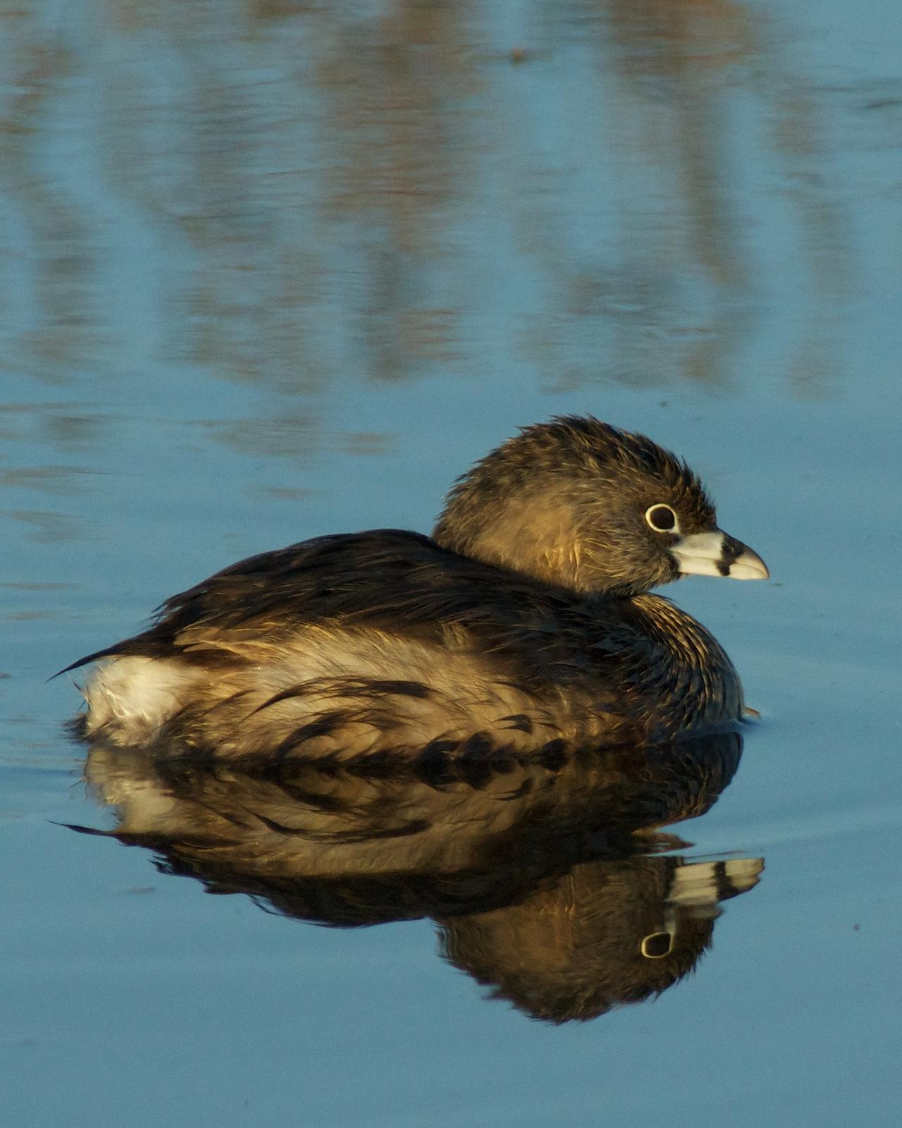 Pied-billed Grebe Photo by Gerald Hoekstra