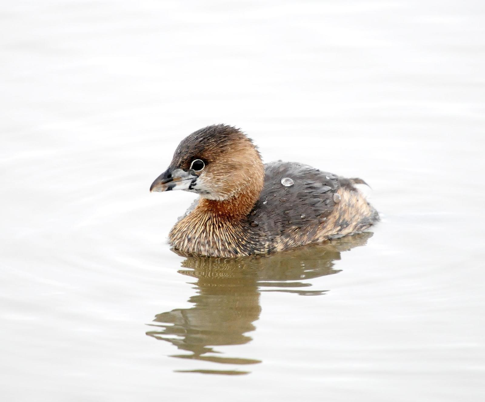 Pied-billed Grebe Photo by Steven Mlodinow