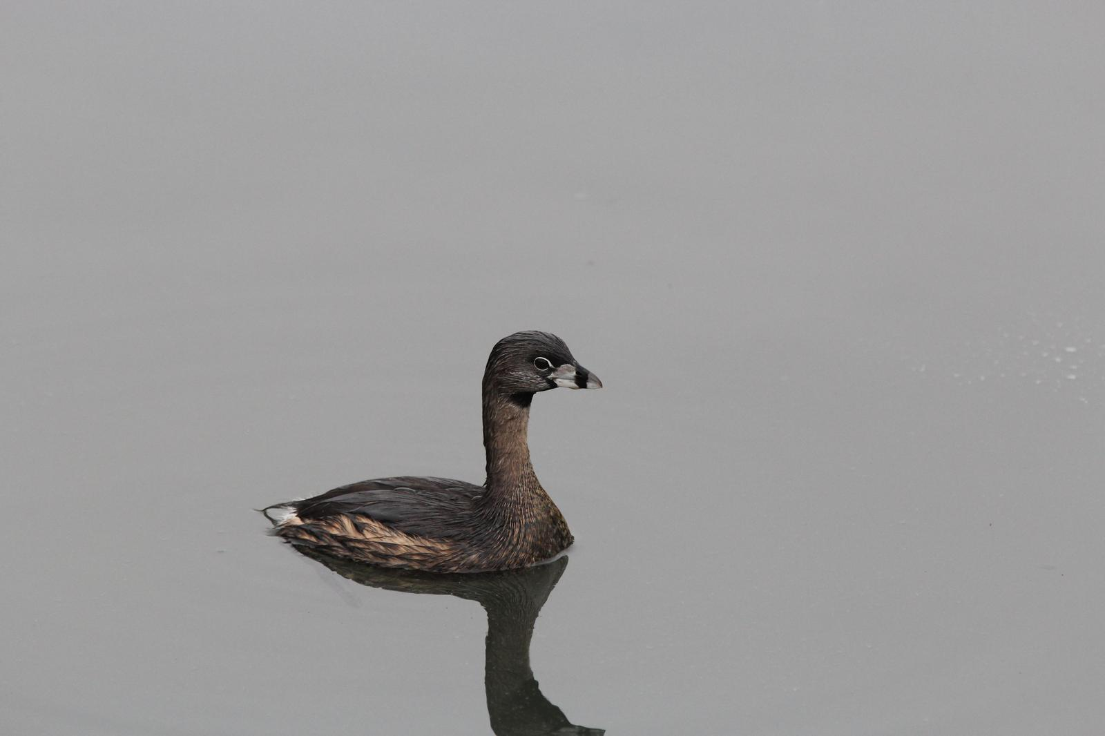 Pied-billed Grebe Photo by Kristy Baker