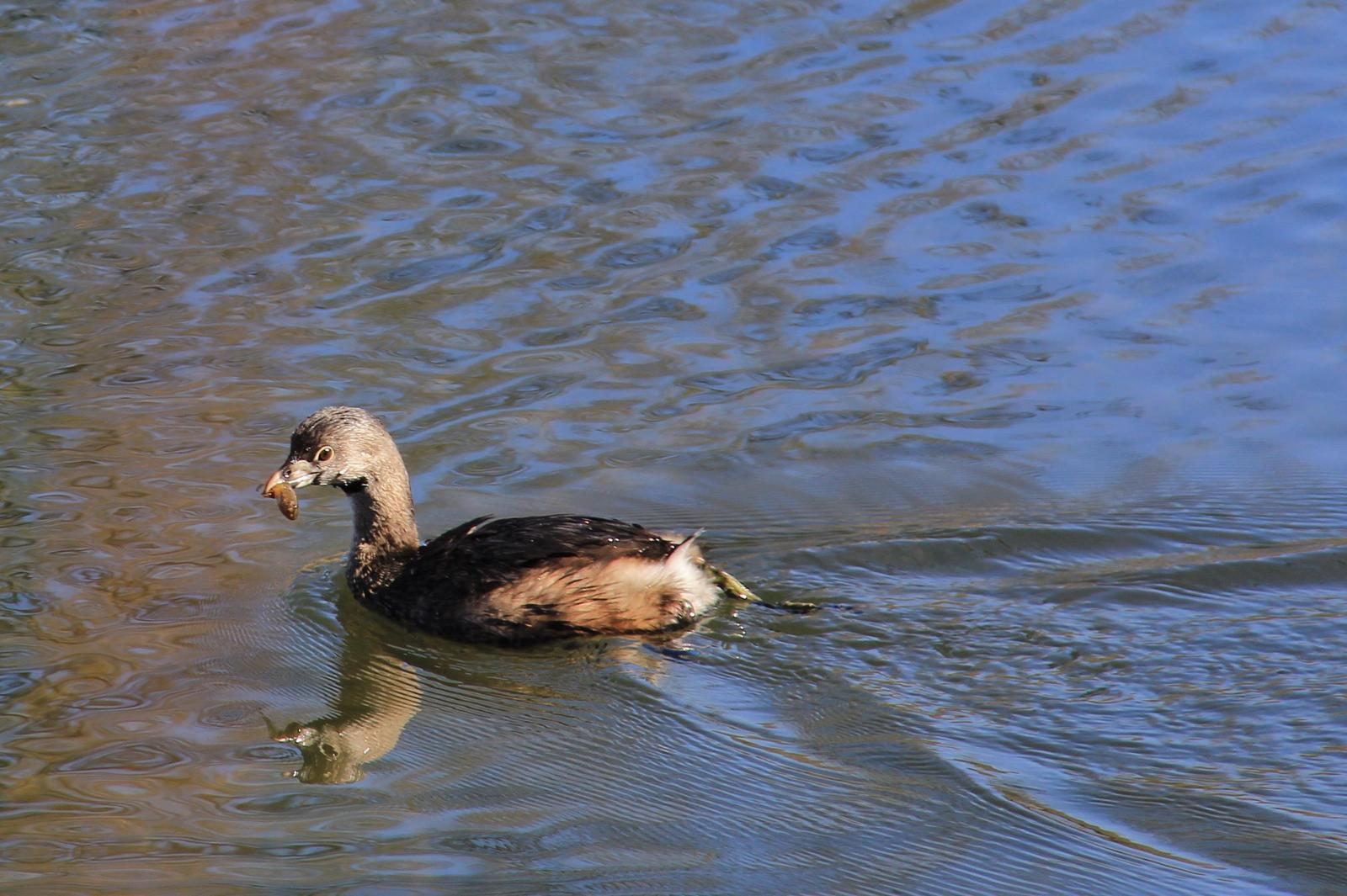 Pied-billed Grebe Photo by Kathryn Keith