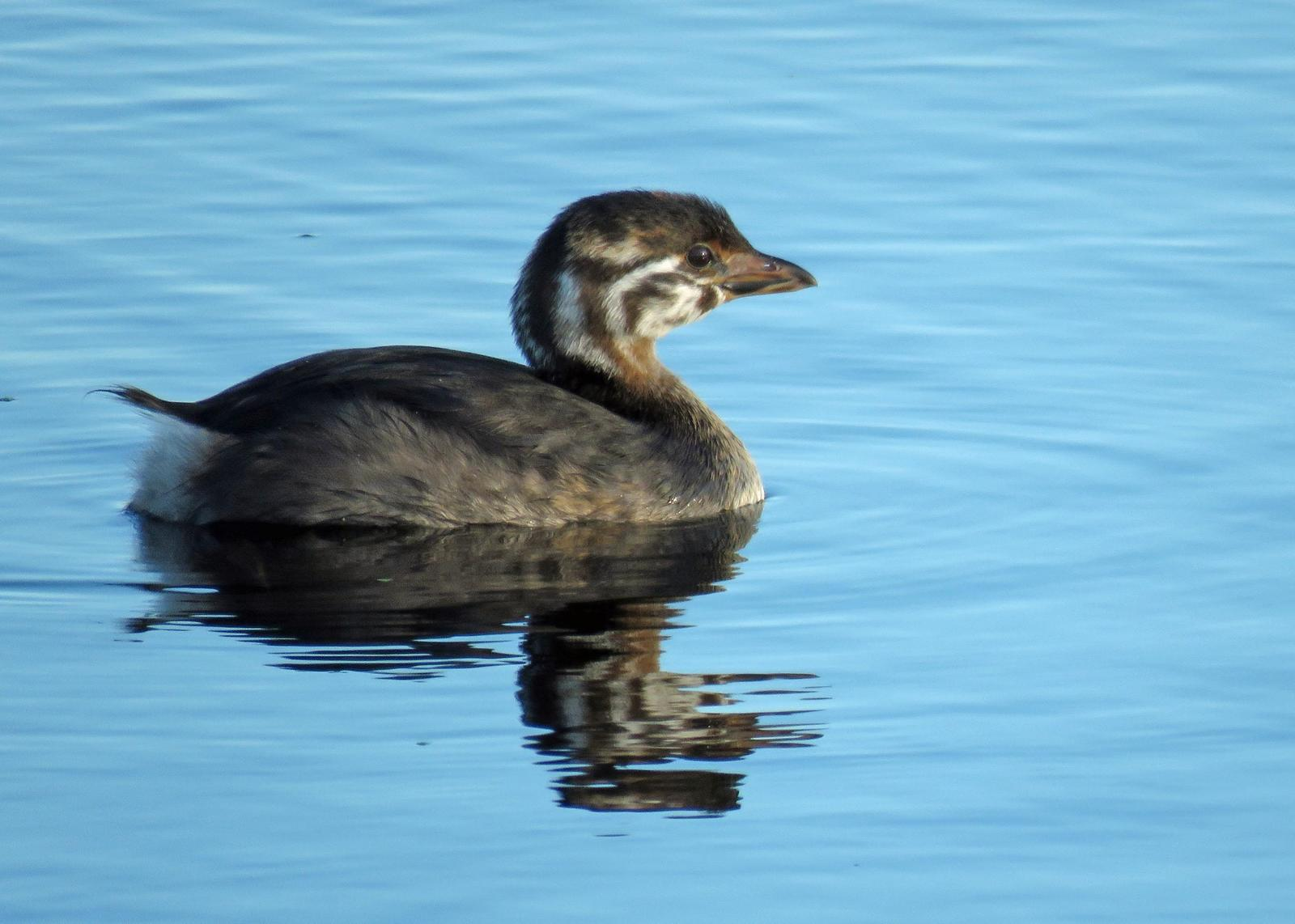 Pied-billed Grebe Photo by Kelly Preheim