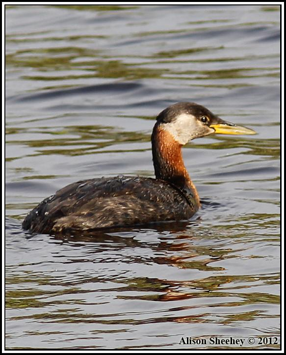 Red-necked Grebe Photo by Alison Sheehey