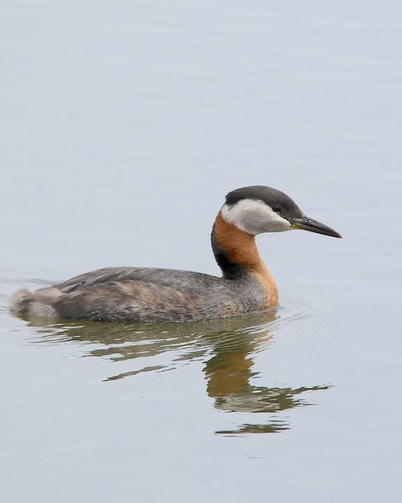 Red-necked Grebe Photo by Denis Rivard