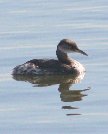Red-necked Grebe Photo by Andrew Core