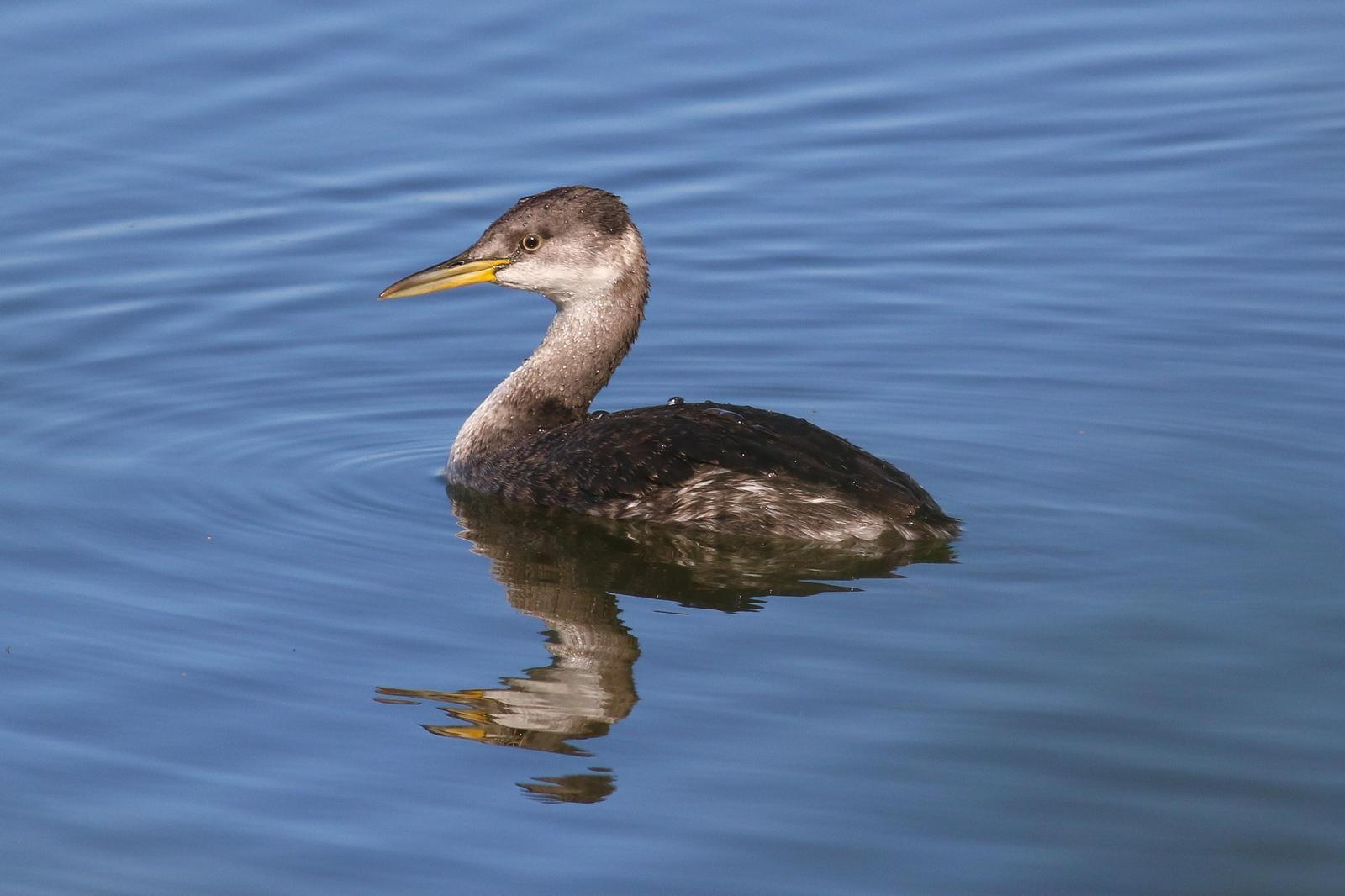 Red-necked Grebe Photo by Tom Ford-Hutchinson