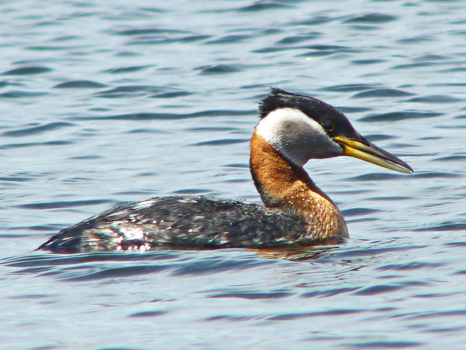 Red-necked Grebe Photo by Bob Neugebauer