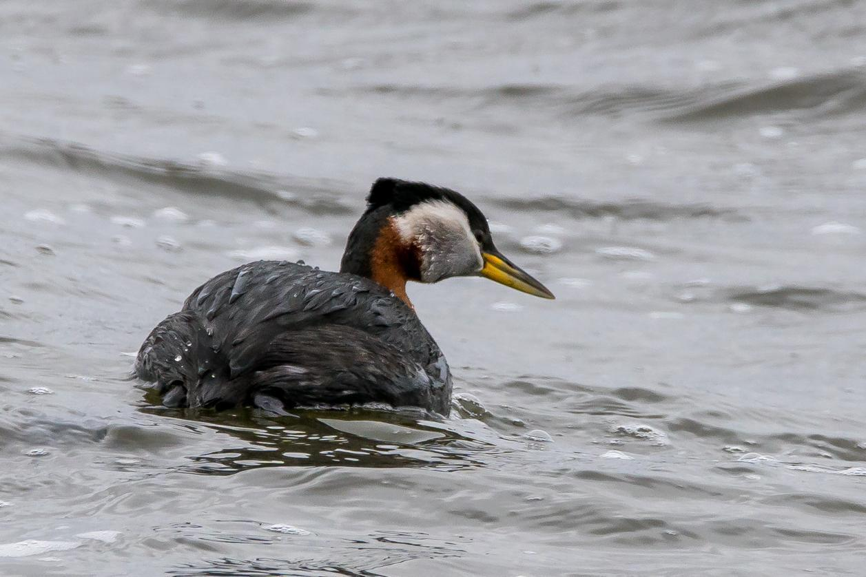Red-necked Grebe Photo by Gerald Hoekstra