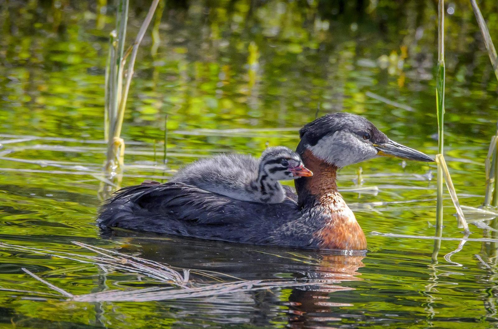 Red-necked Grebe Photo by Scott Yerges