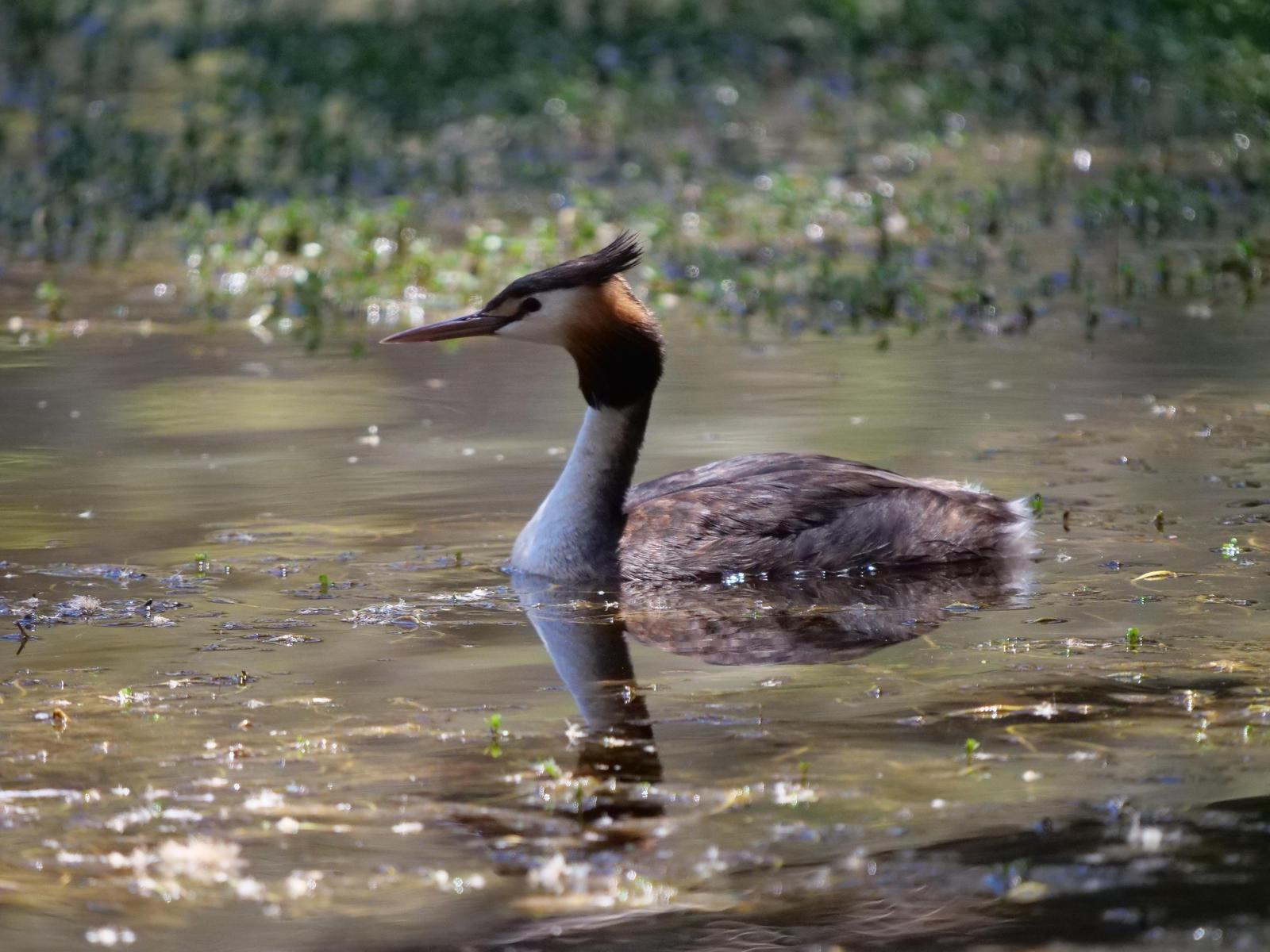 Great Crested Grebe Photo by Peter Lowe