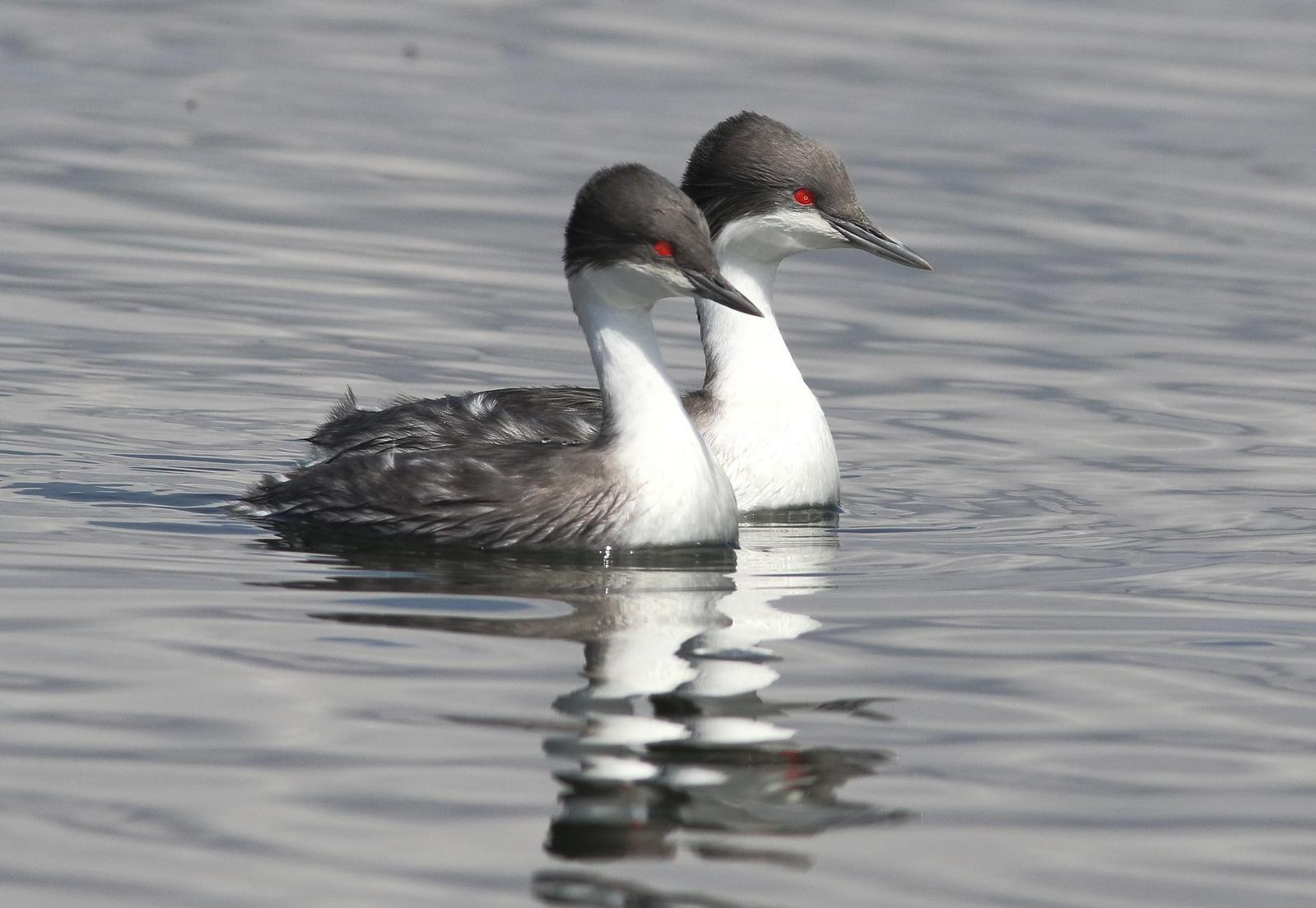 Junin Grebe Photo by Leonardo Garrigues