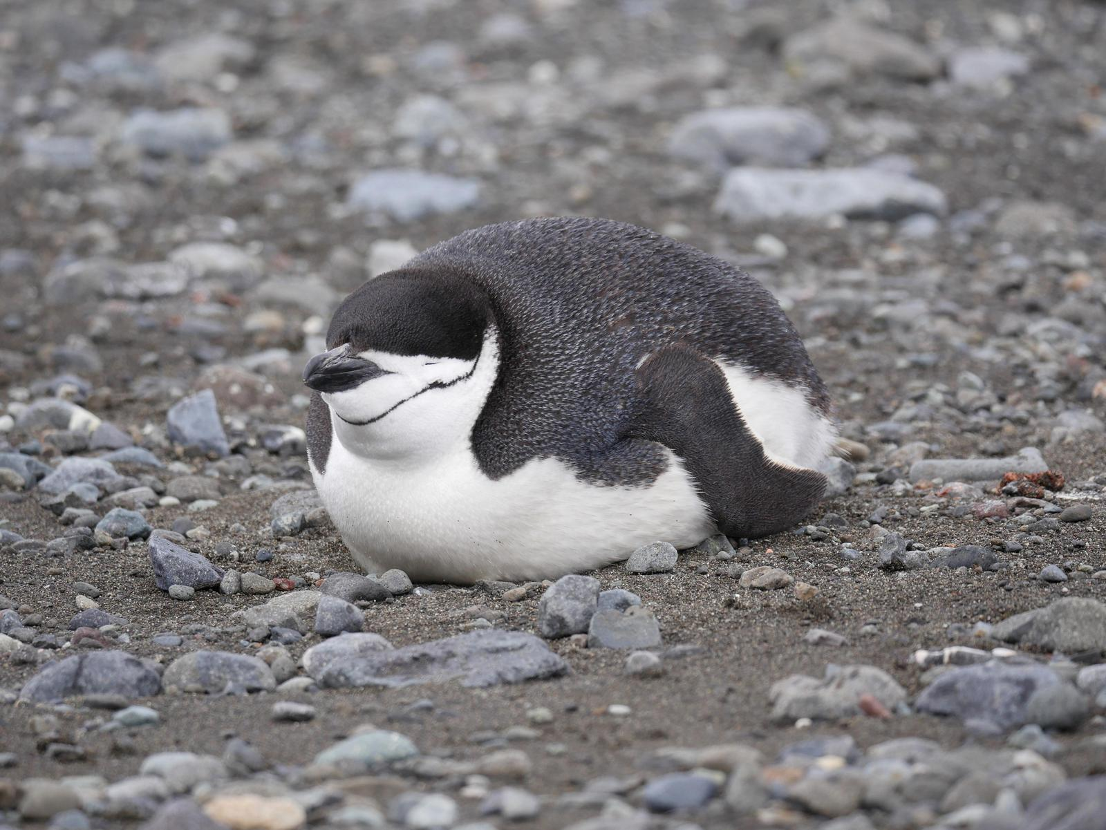 Chinstrap Penguin Photo by Peter Lowe
