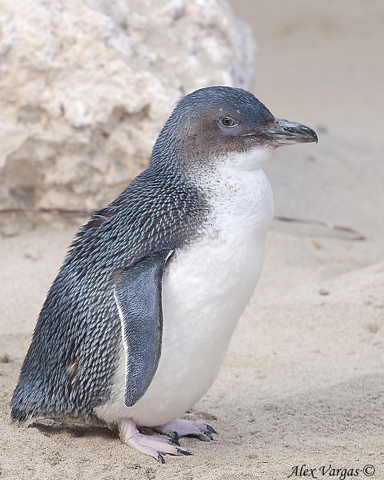 Little Penguin Photo by Alex Vargas