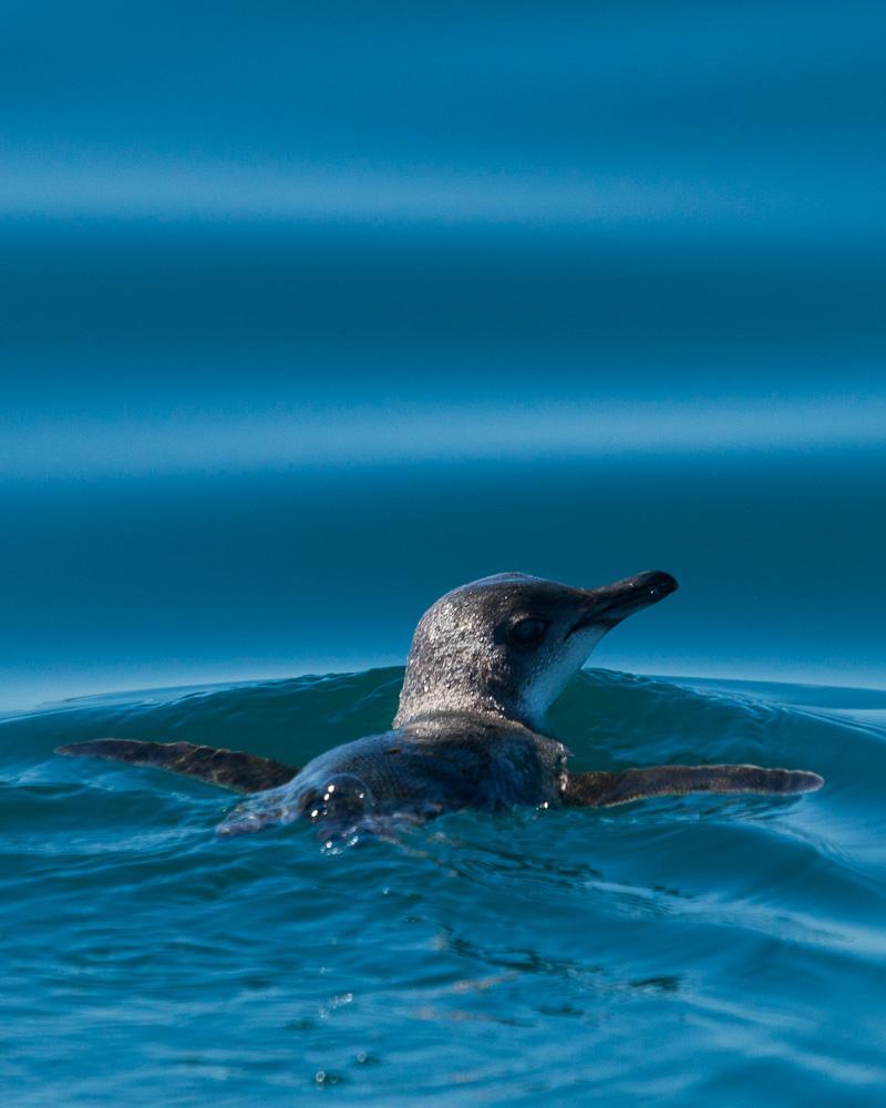 Little Penguin Photo by Chris Harrison