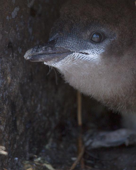 Little Penguin Photo by Mat Gilfedder