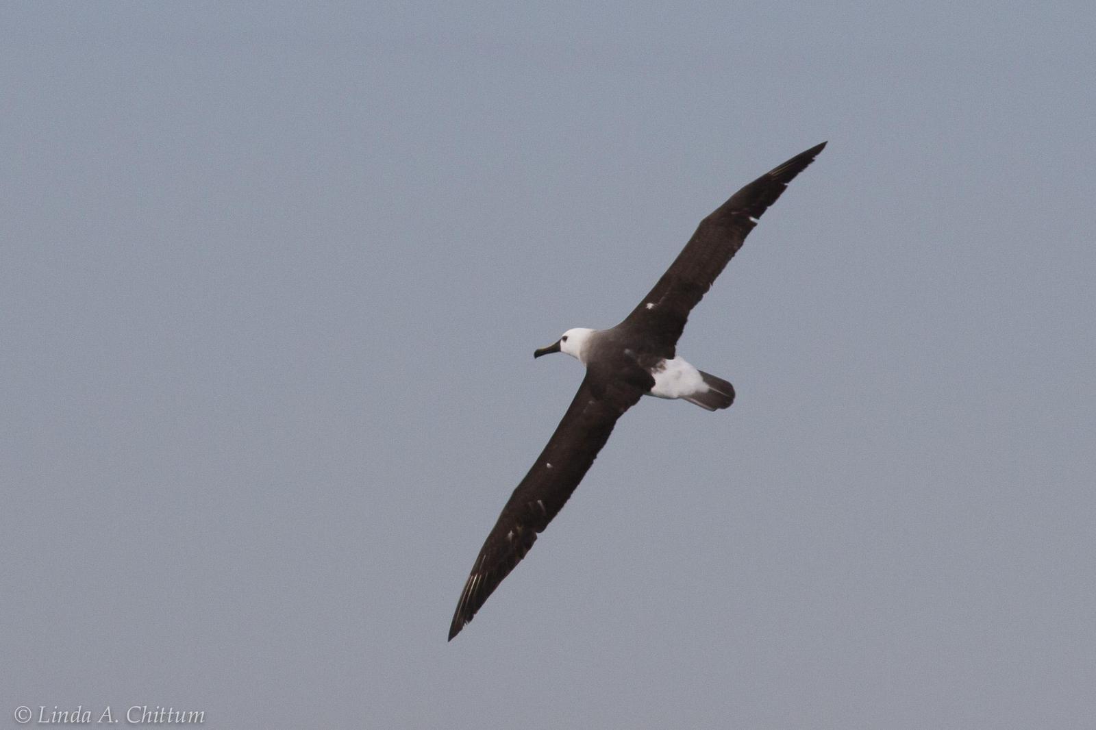 Yellow-nosed Albatross (Atlantic) Photo by Linda Chittum