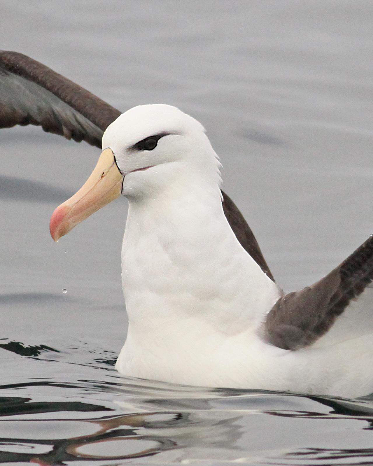 Black-browed Albatross Photo by Luke Seitz