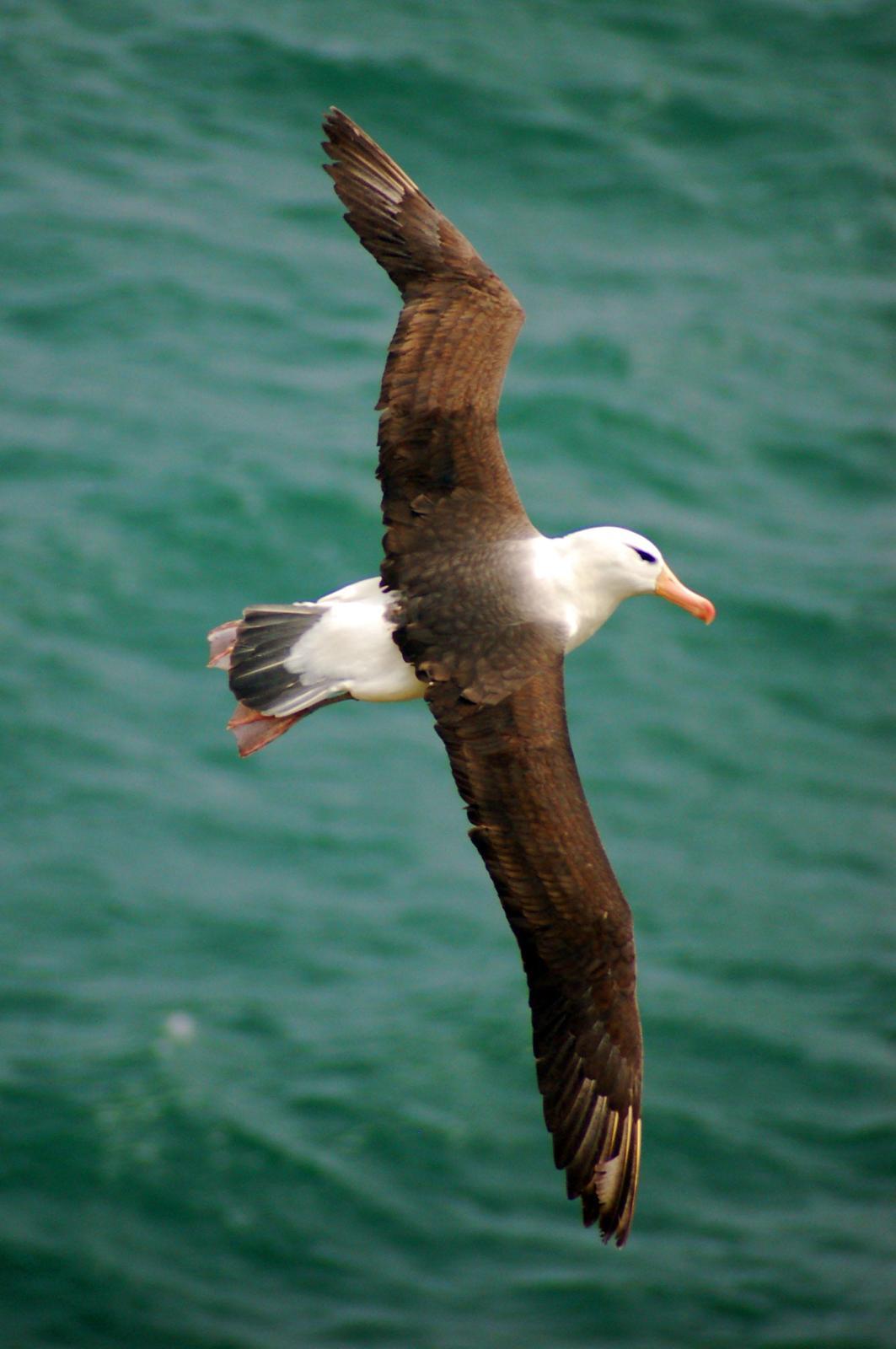 Black-browed Albatross Photo by Carlos Silva-Quintas