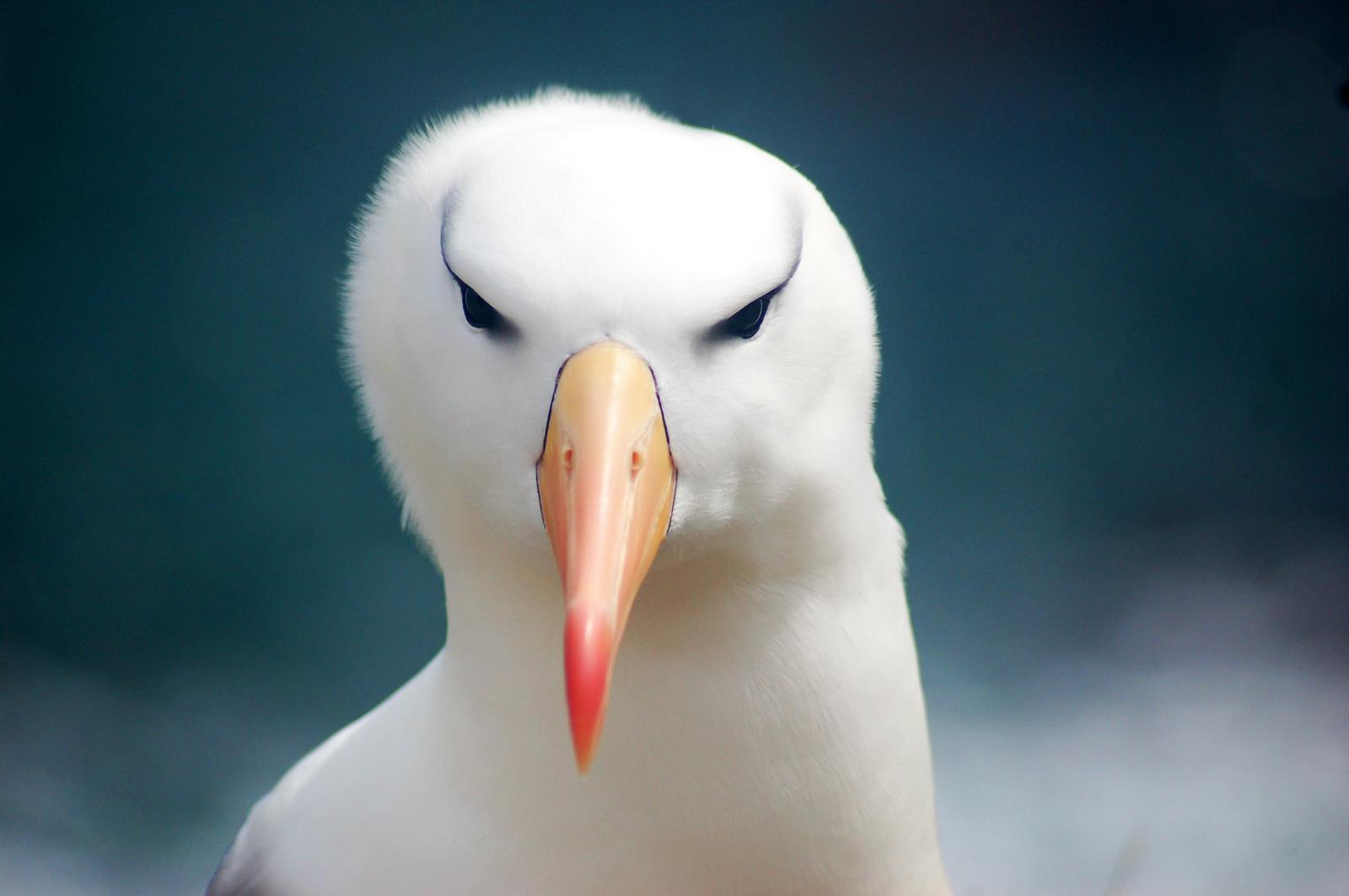 Black-browed Albatross Photo by Carlos Silva-Quintas