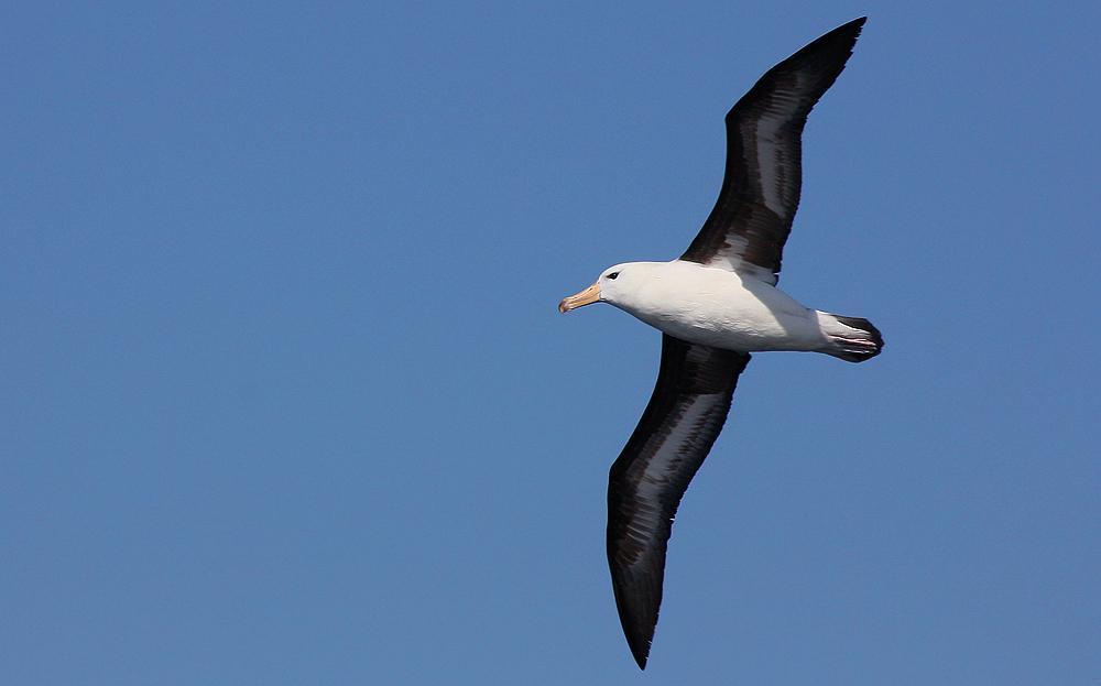 Black-browed Albatross Photo by Ignacio Azocar