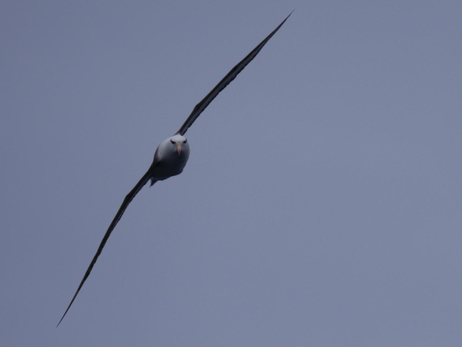 Black-browed Albatross Photo by Peter Lowe