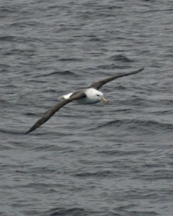 Black-browed Albatross Photo by Mat Gilfedder