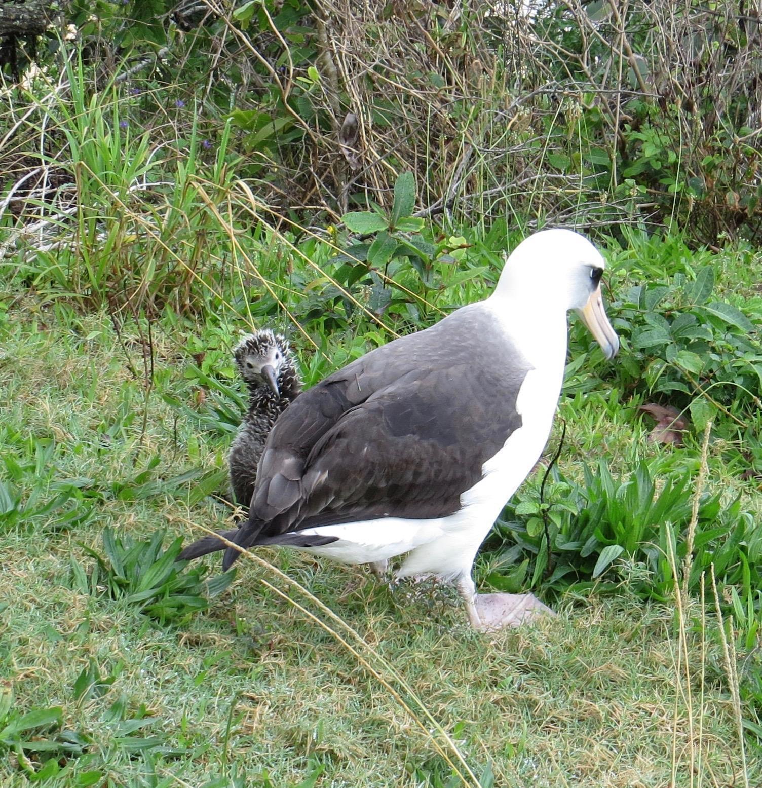 Laysan Albatross Photo by Don Glasco