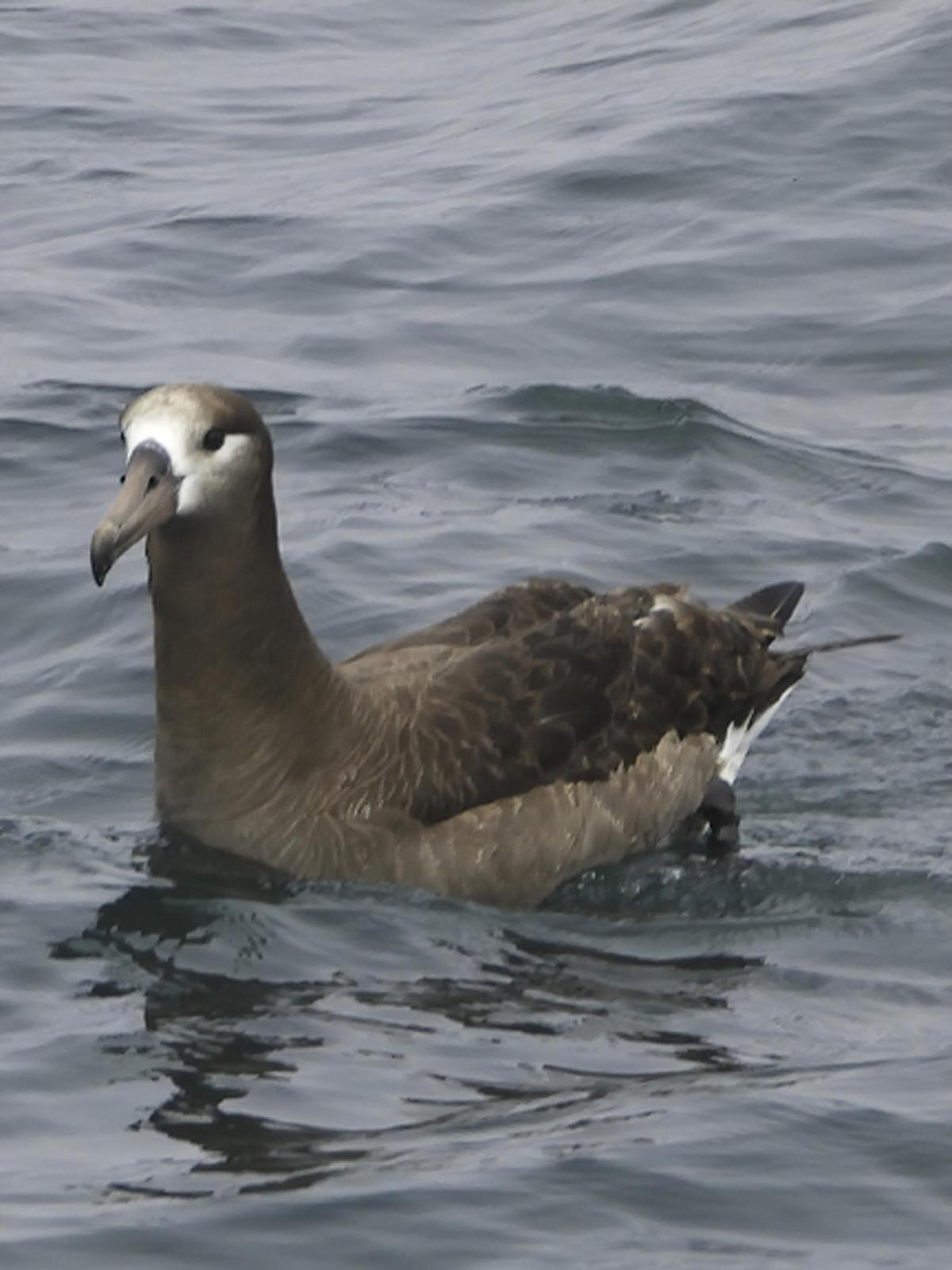 Black-footed Albatross Photo by Dan Tallman