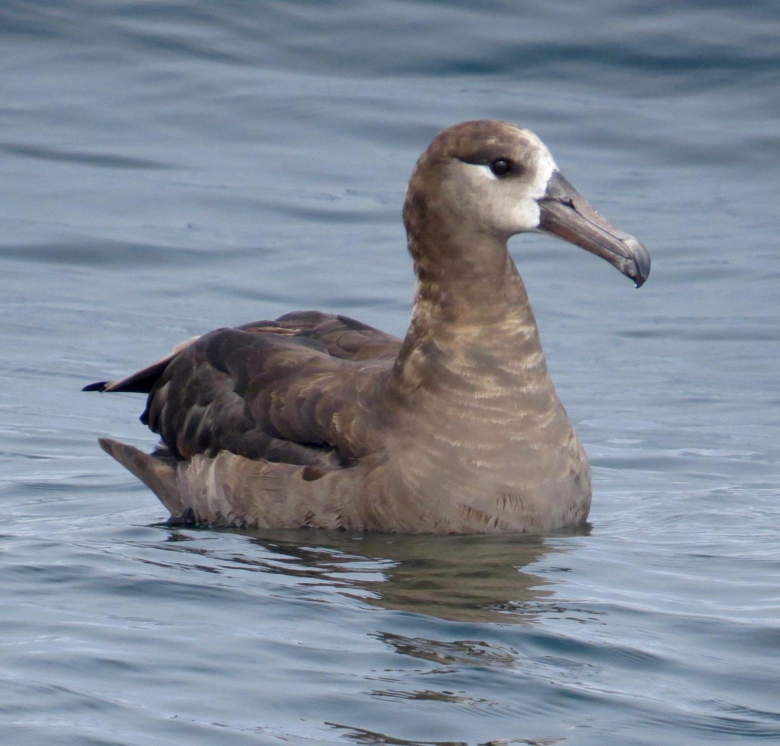 Black-footed Albatross Photo by Don Glasco