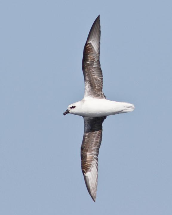 White-headed Petrel Photo by Dan Mantle