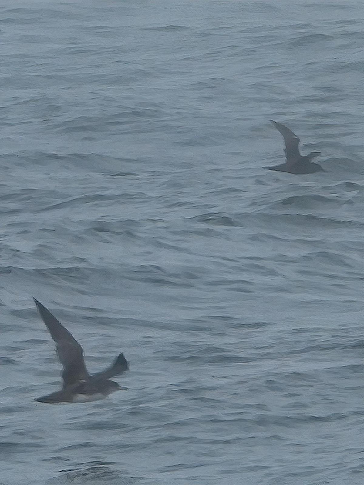 Pink-footed Shearwater Photo by Dan Tallman