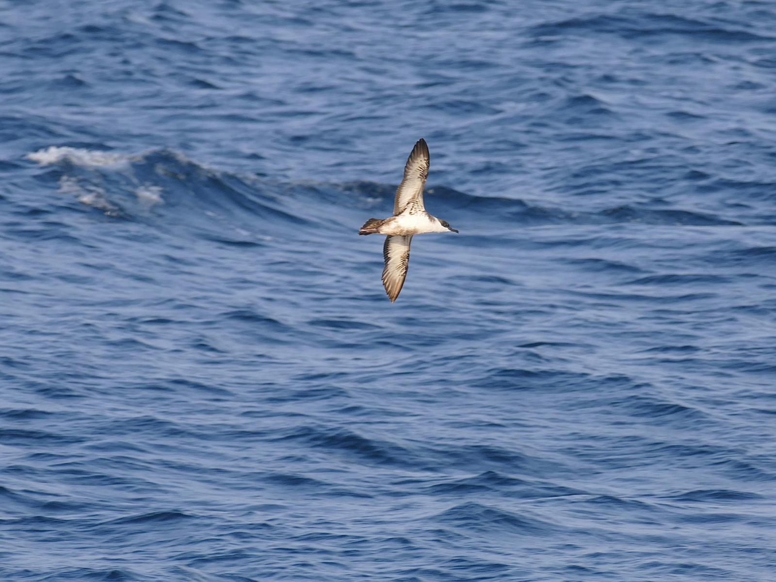Great Shearwater Photo by Drew Weber