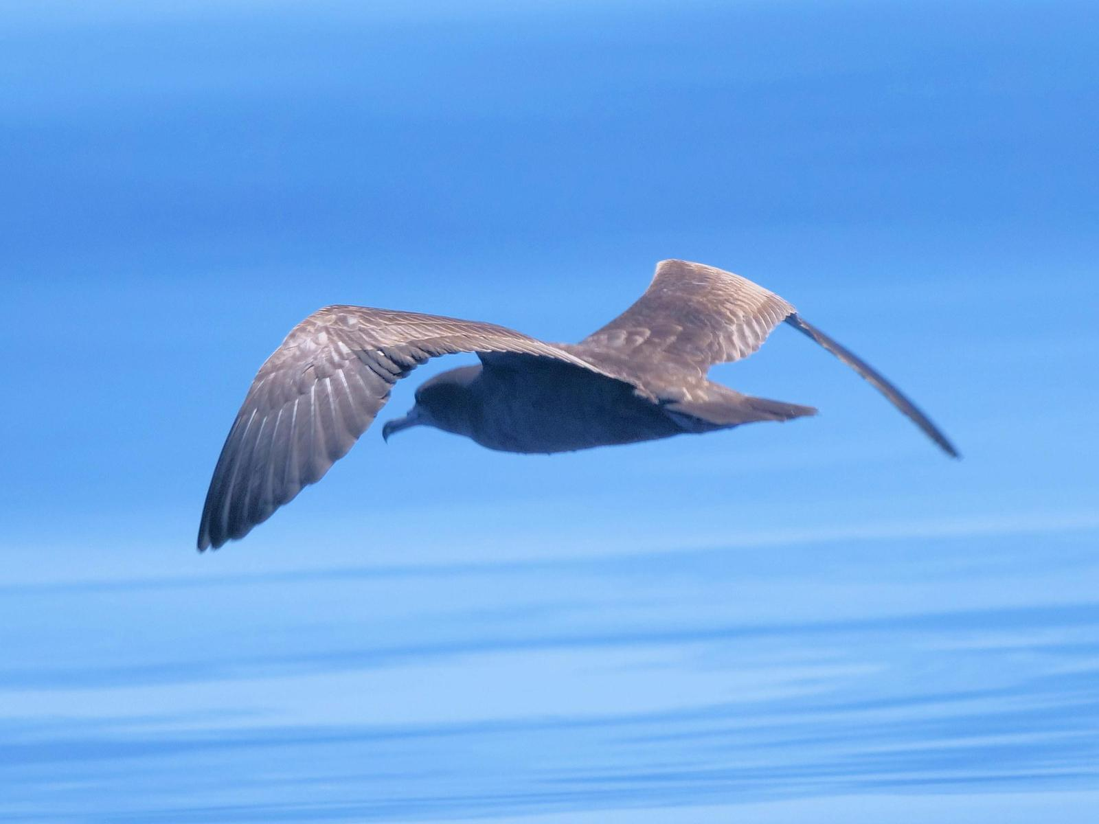 Wedge-tailed Shearwater Photo by Peter Lowe