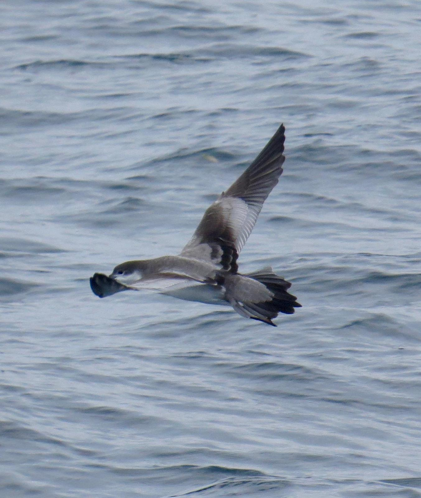 Buller's Shearwater Photo by Don Glasco