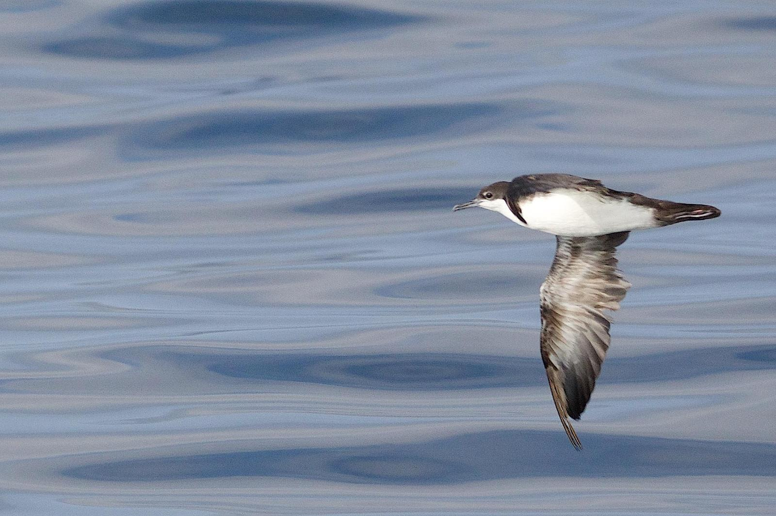 Audubon's Shearwater Photo by Gerald Hoekstra