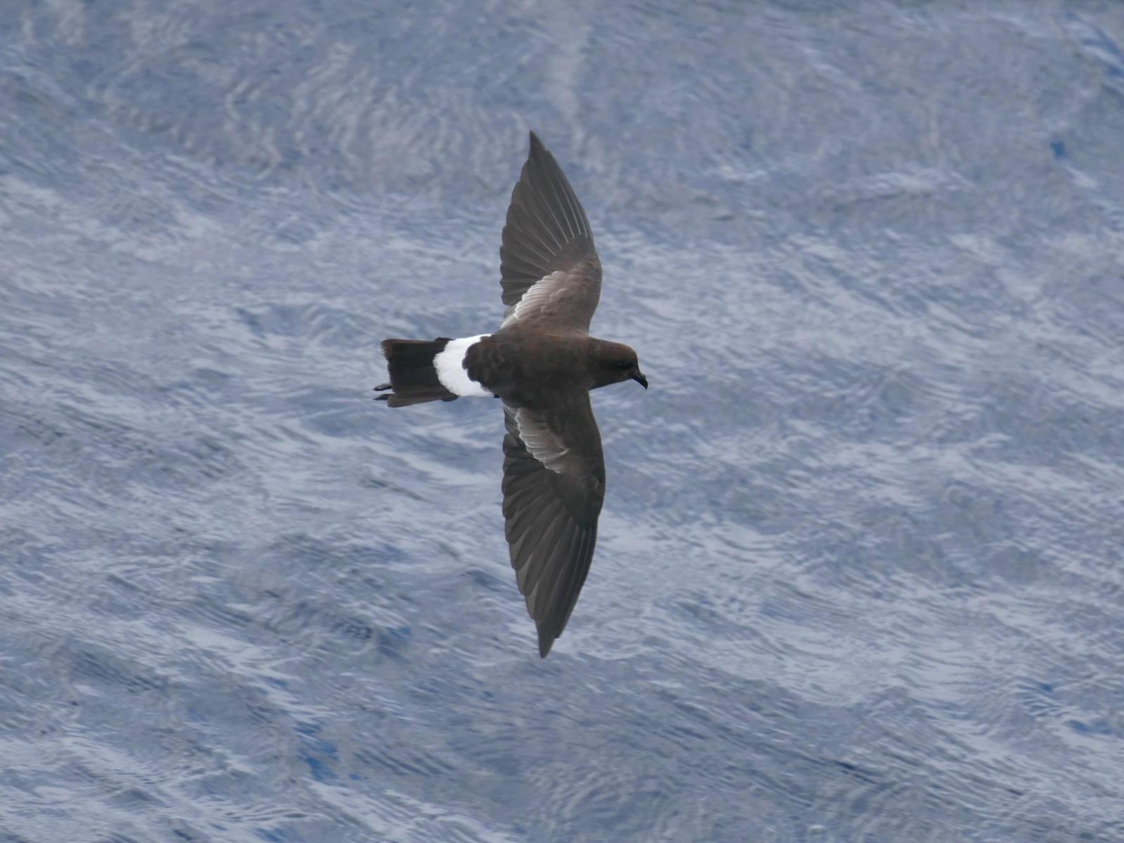 Wilson's Storm-Petrel Photo by Drew Weber
