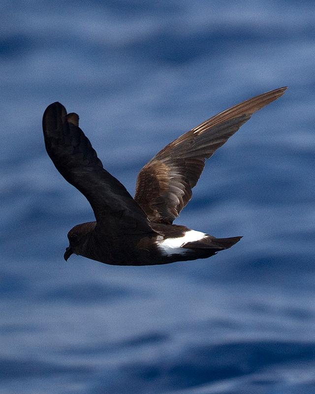 Band-rumped Storm-Petrel Photo by Ryan Shaw