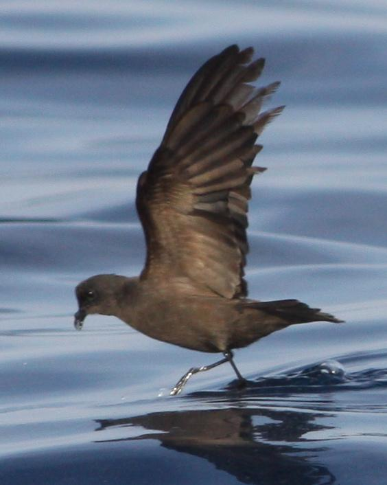 Least Storm-Petrel Photo by Matt Sadowski