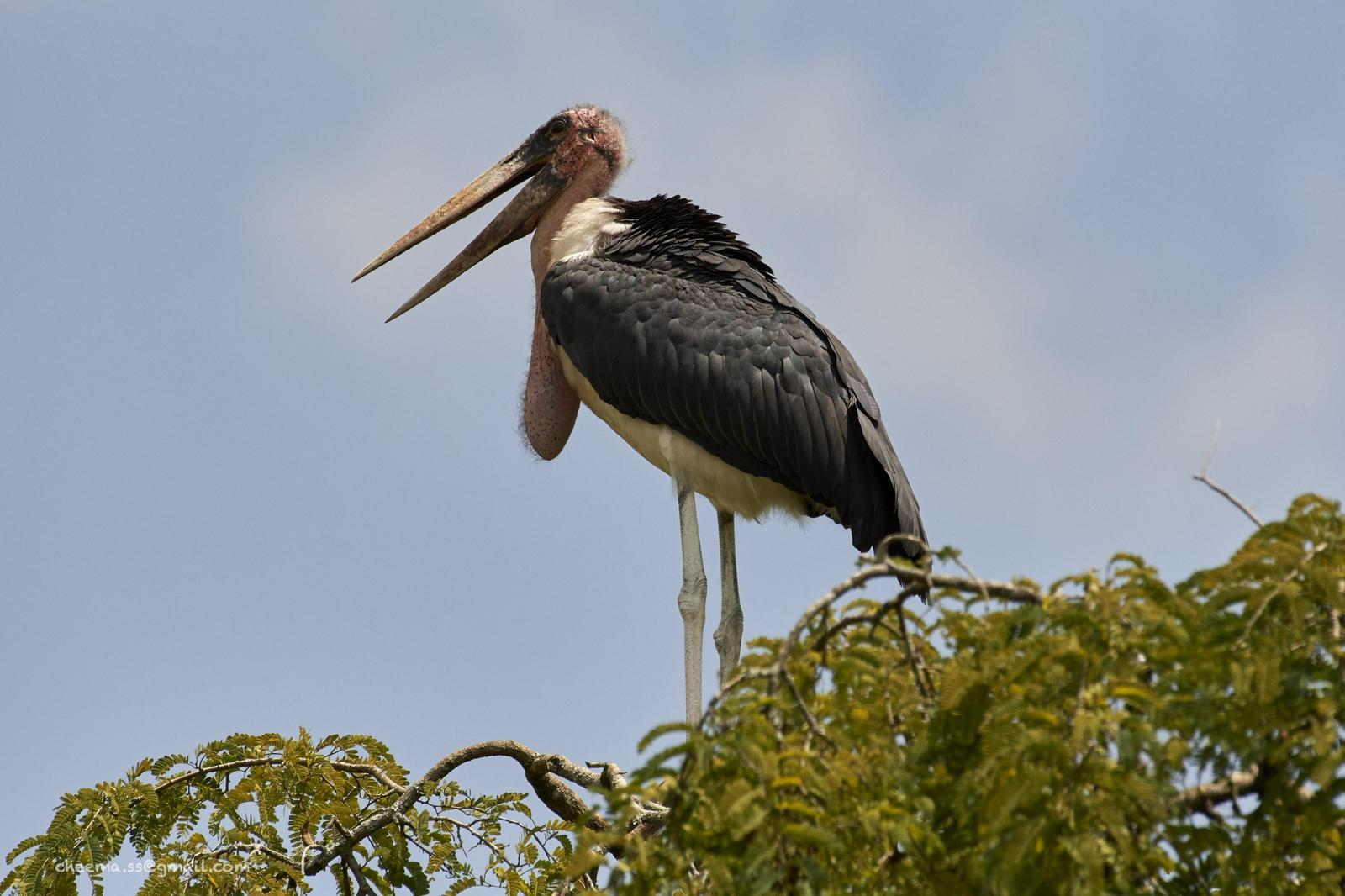 Marabou Stork Photo by Simepreet Cheema